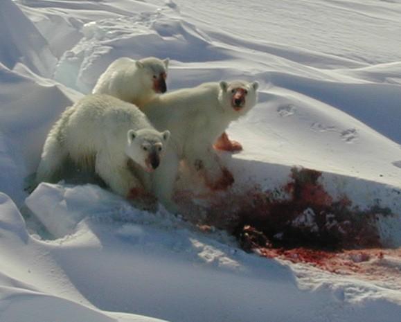 Do polar bears eat humans - photo#4